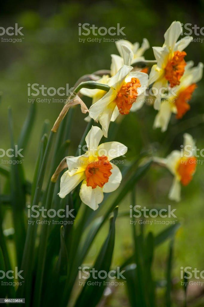 Narcissus white yellow flower macro for nature background zbiór zdjęć royalty-free
