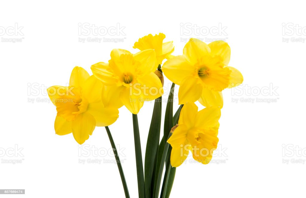 narcissus yellow bouquet  isolated stock photo