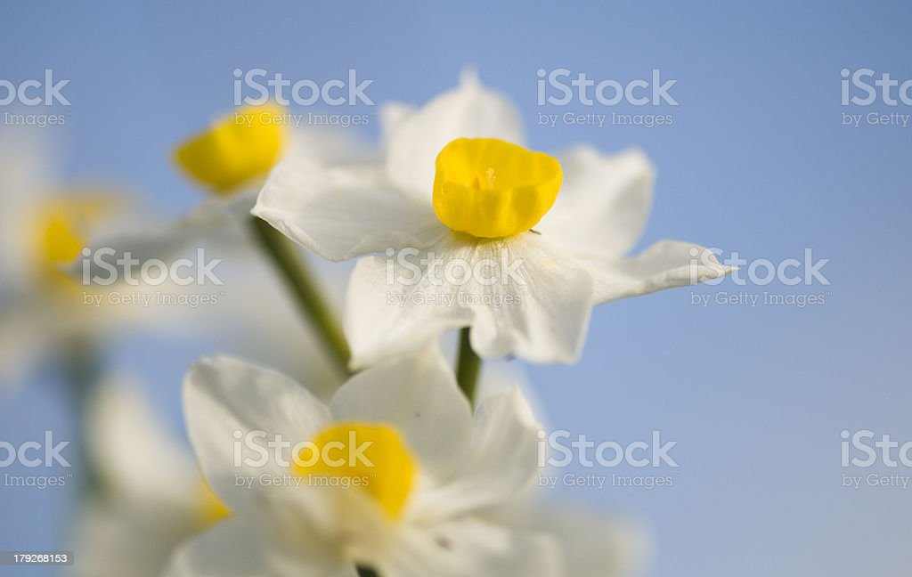 Narcissus,daffodil royalty-free stock photo