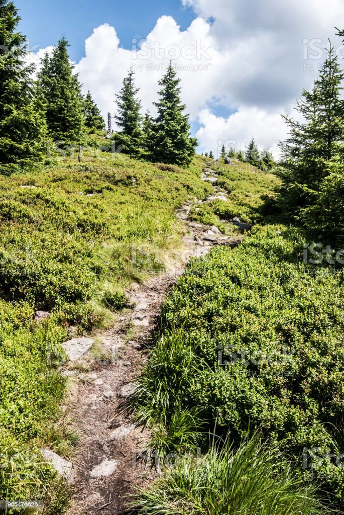 narow partly stony hiking trail with spruces, bilberry growth and blue sky with clouds stock photo