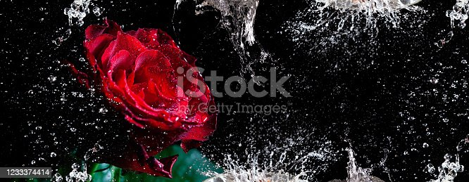 Narrow banner with red rose and dynamic water splashes and drops against black background