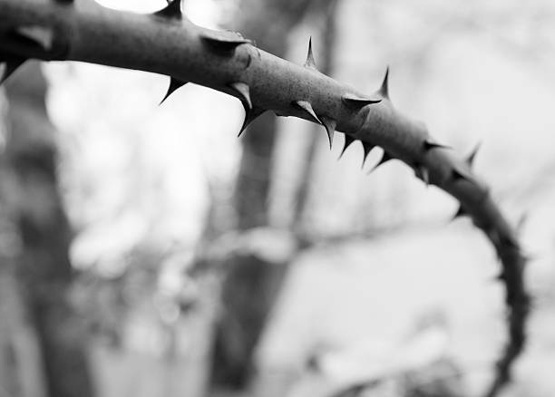 narrow focus rose branch bw - sharp stock photos and pictures