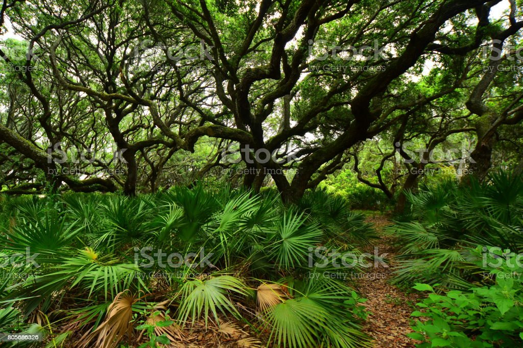 Narrow foot trail through dense forest of Saw Palmetto and Live Oak trees stock photo