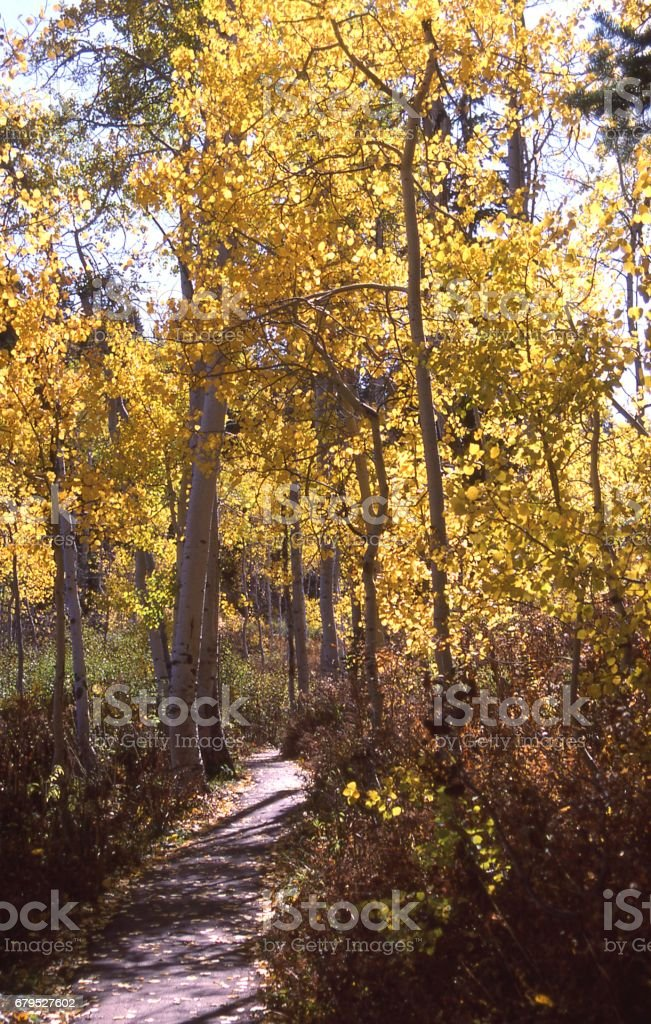 Narrow footpath through grove of aspen trees in autumn at Cascade Springs Wasatch Mountains Utah royalty-free stock photo