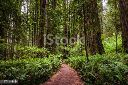 Deserted naroow path trhough a redwood sequoia forest in northern California. Redwood National Park, CA, USA.