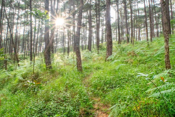 narrow trail in forest at sunset - baguio, philippines - baguio city stock photos and pictures