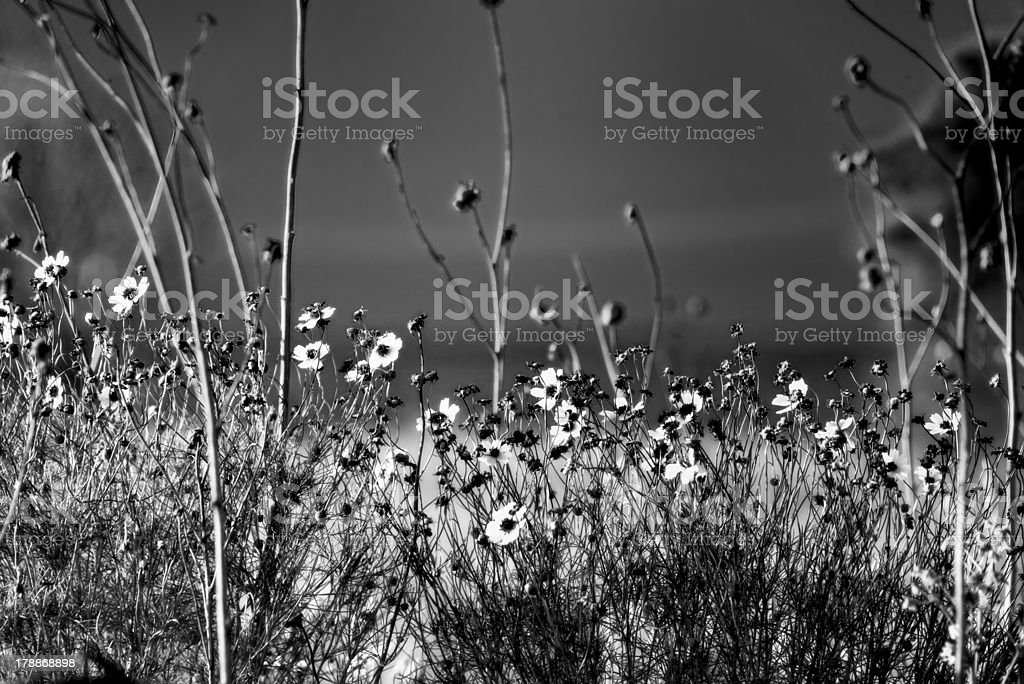 Narrow-leaf Sunflowers at Lake's Edge royalty-free stock photo