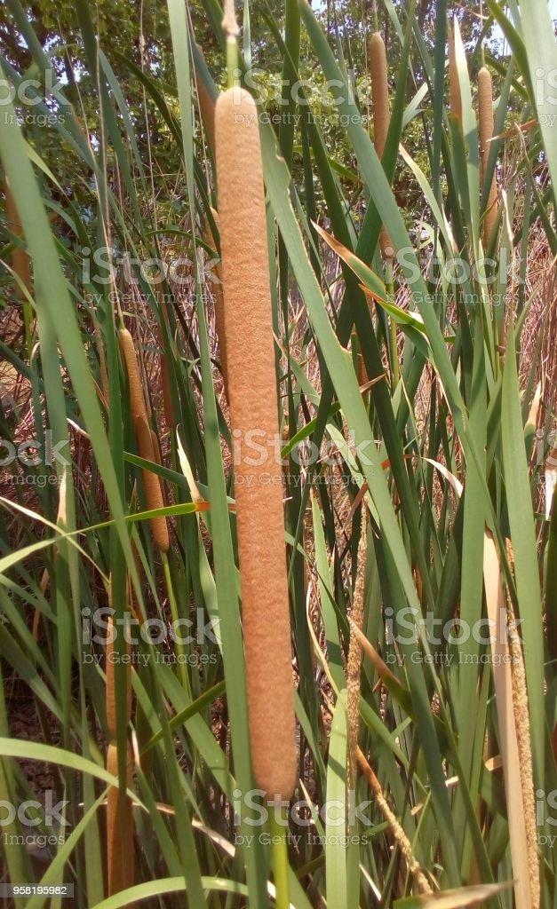 Narrow-leaved Cattail, Lesser Bulrush, Lesser reedmace, Narrowleaf Cattail, Typha angustifolia herbs stock photo