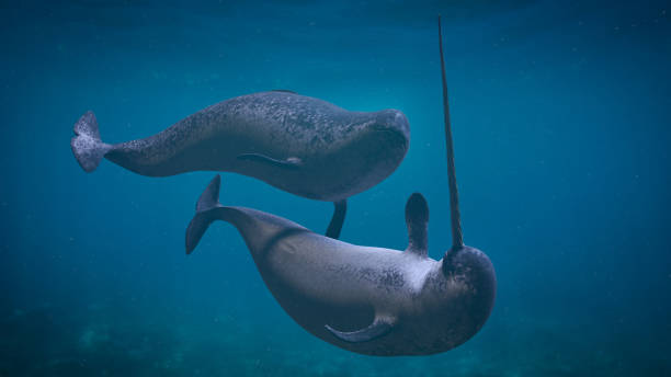 Narwhal couple,  two Monodon monoceros playing in the ocean rare arctic whale species in natural environment cetacea stock pictures, royalty-free photos & images