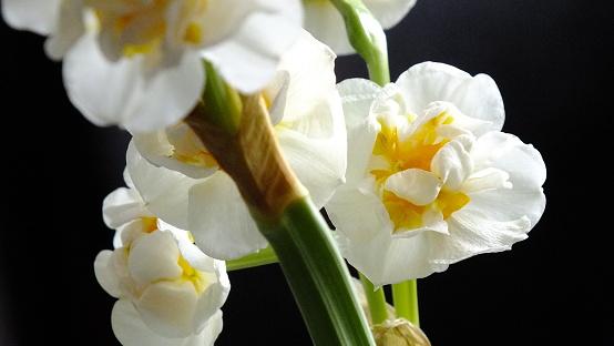 Narzissen Stockfoto und mehr Bilder von Blume