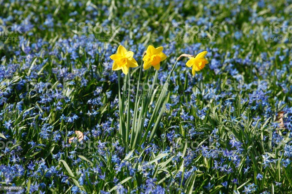 Narzissenblüte  (Narcissus Pseudonarcissus) stock photo