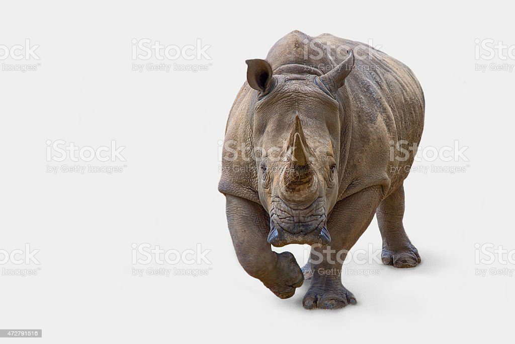 Nashorn stock photo