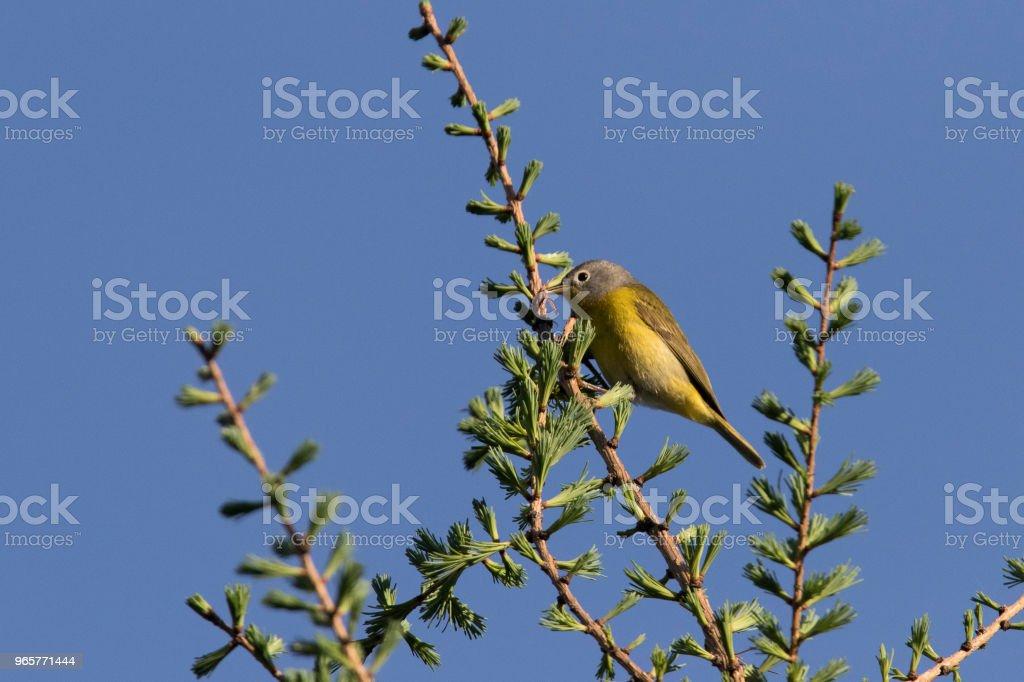 nashville warbler nashville warbler in spring Animal Stock Photo