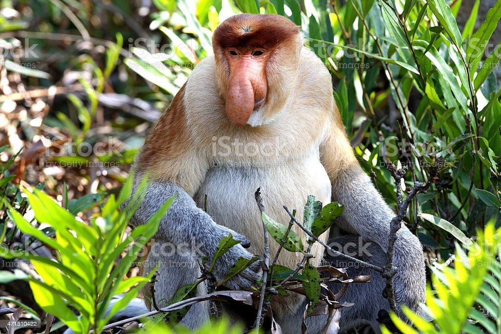 Nasica Proboscis Monkey stock photo