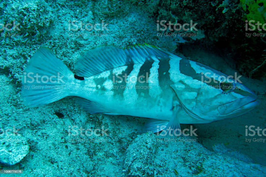 Nassau grouper found scuba diving in Nassau Bahamas stock photo