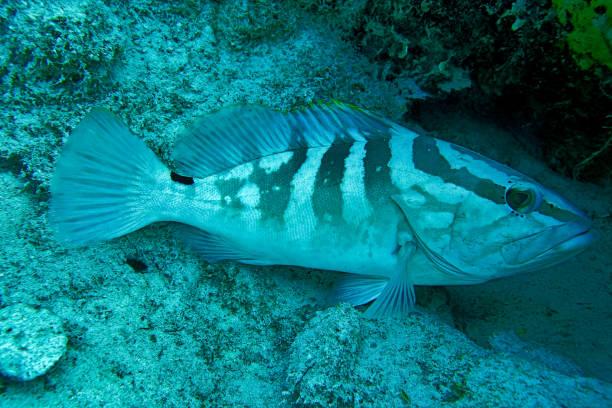 Nassau grouper found scuba diving in Nassau Bahamas stock photo