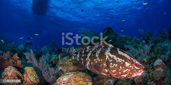 The Nassau grouper (Epinephelus striatus) a nautical vessel and the beautiful marine life in Little Cayman - Cayman Islands