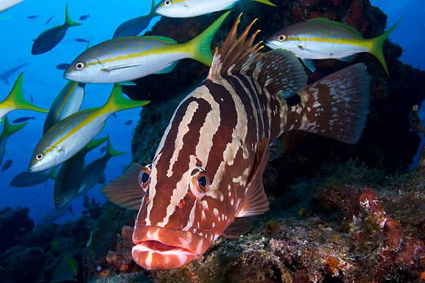 Nassau Grouper stock photo