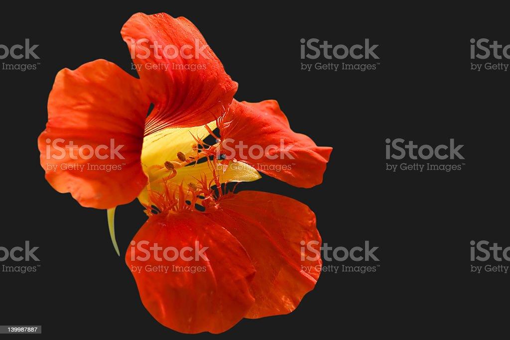 Nasturtium blossom stock photo