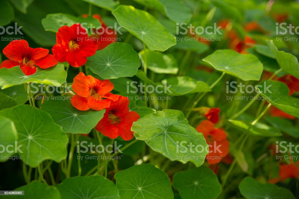 Nasturtium clear day close-up royalty-free stock photo