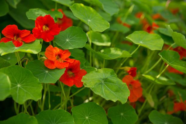 nasturtium clear day close-up - nasturtium stock photos and pictures