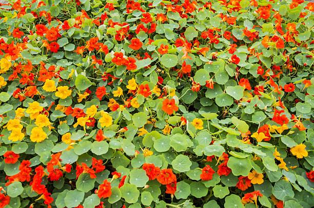 nasturtium flower bed - nasturtium stock photos and pictures
