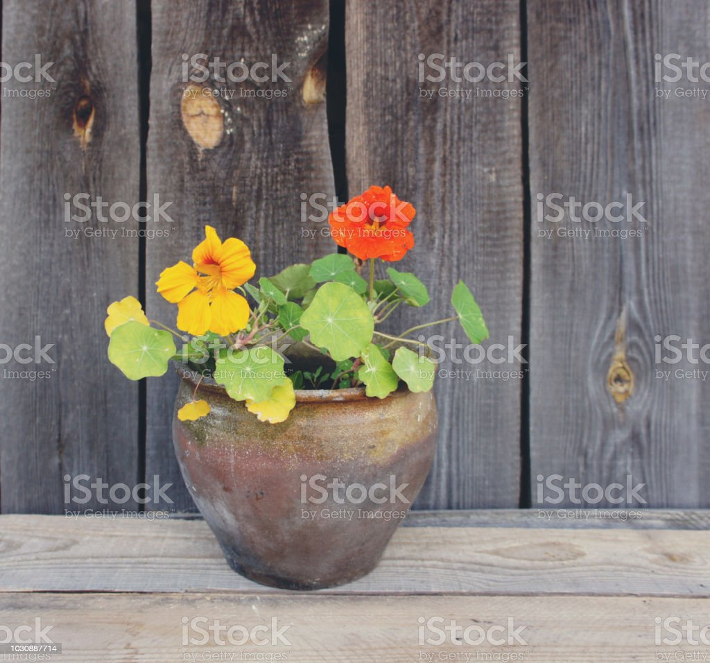 Nasturtium flower in a clay pot on wooden wall background. royalty-free stock photo