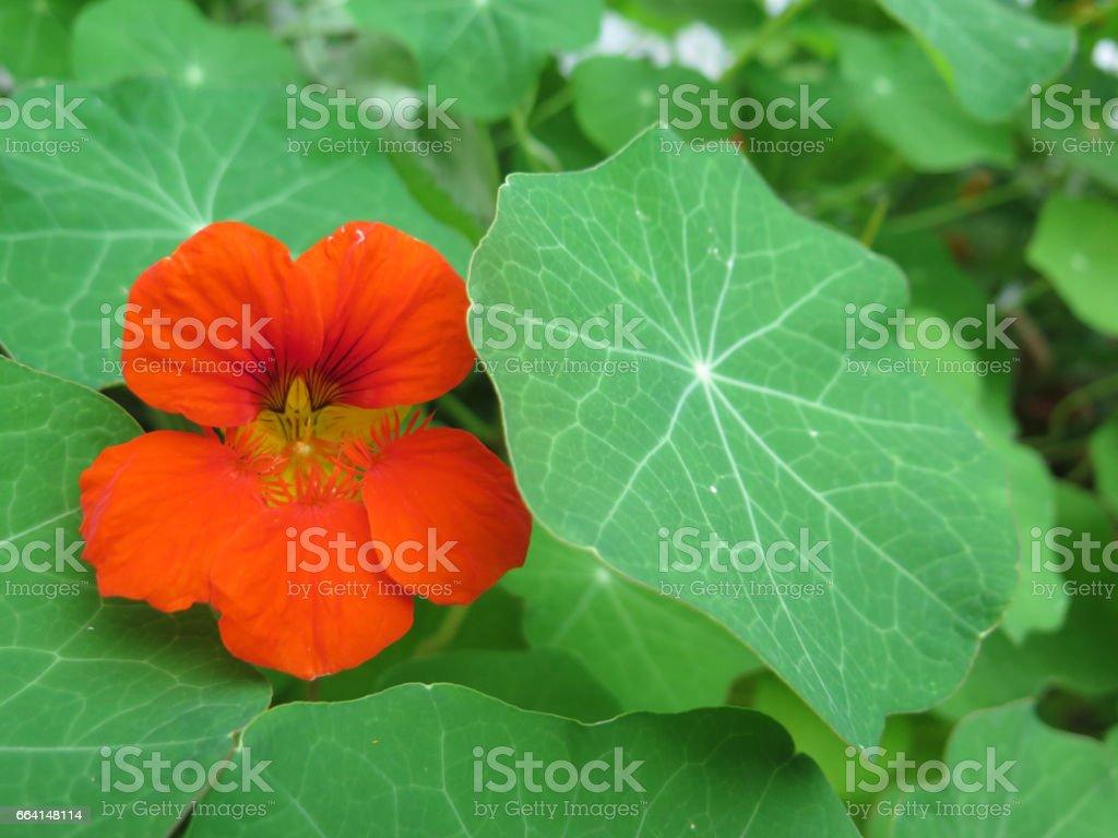 Nasturtium flower in bloom foto stock royalty-free