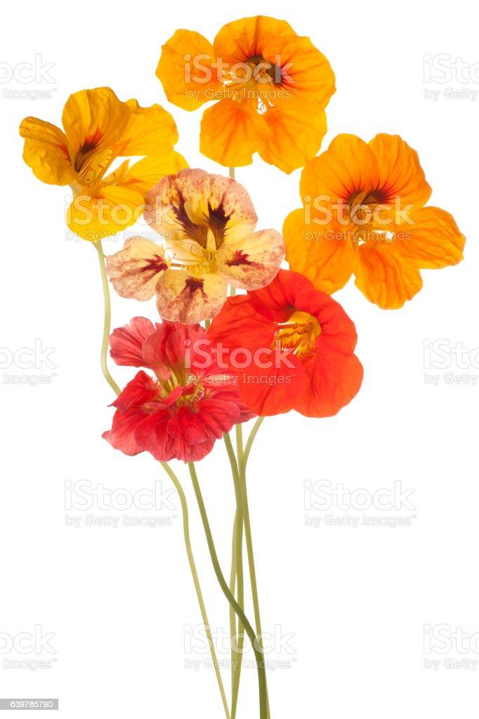 Capucine Fleurs De Couleur Vive Banque Dimages Et Photos Libres De