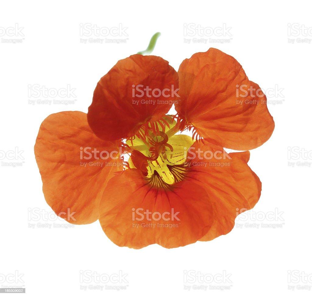 Nasturtium flower stock photo