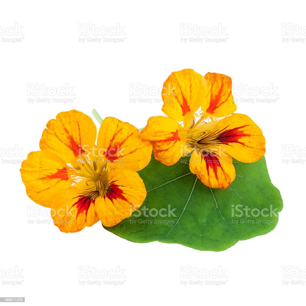 Nasturtium Flower royalty-free stock photo