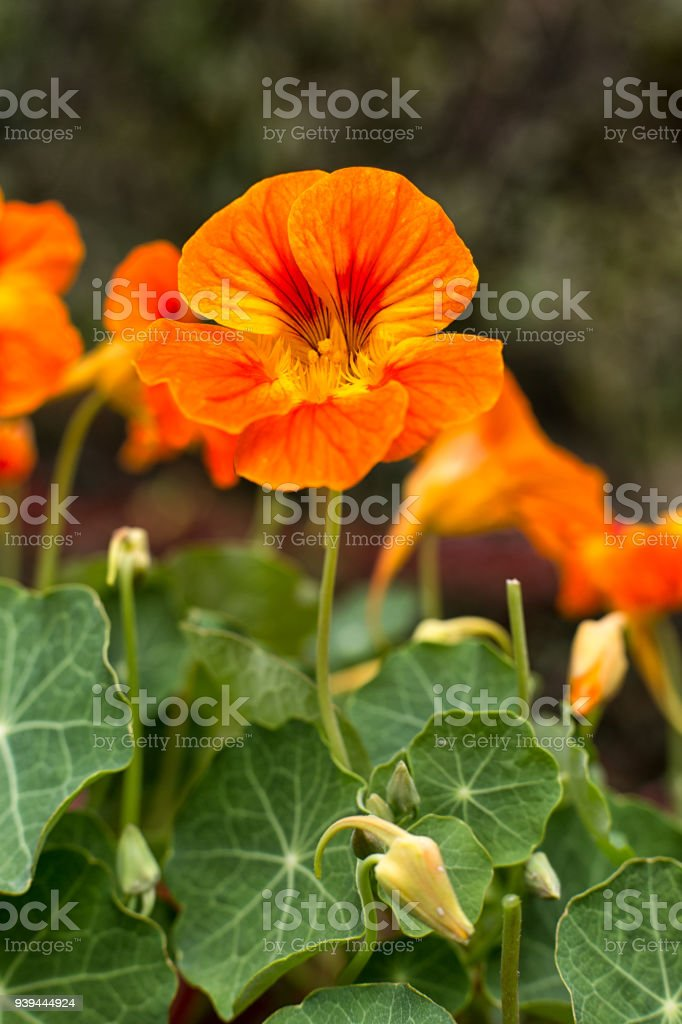 nasturtium flower royalty-free stock photo