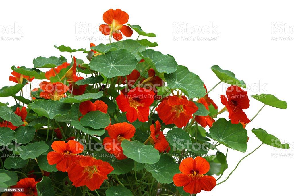 Nasturtium flower Plant stock photo
