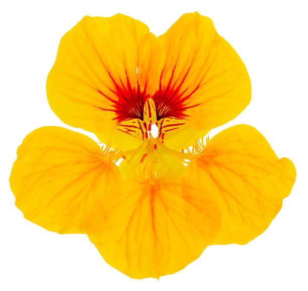 nasturtium flower yellow isolated - nasturtium stock photos and pictures