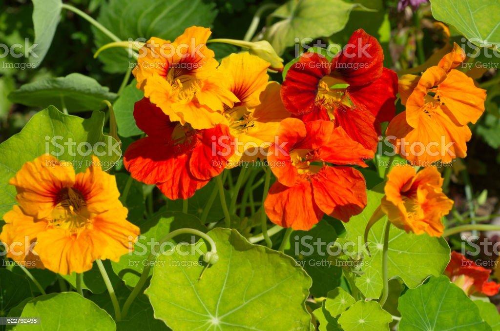 Nasturtium flowers blooms on the flowerbed royalty-free stock photo