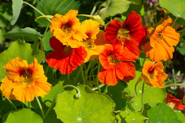 nasturtium flowers blooms on the flowerbed - nasturtium stock photos and pictures