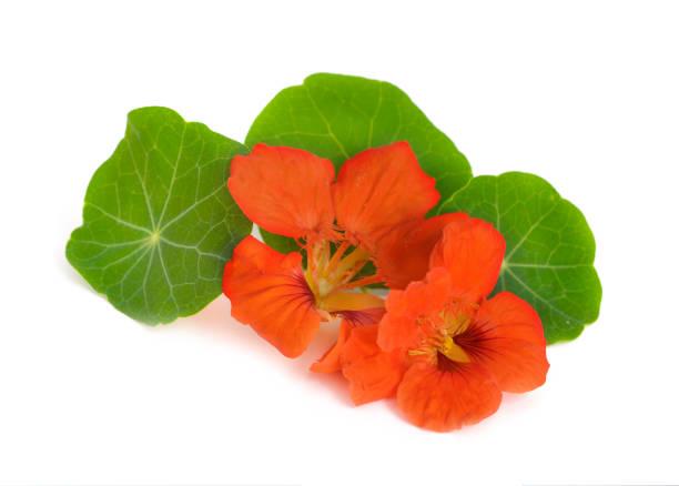 nasturtium flowers isolated. - nasturtium stock photos and pictures