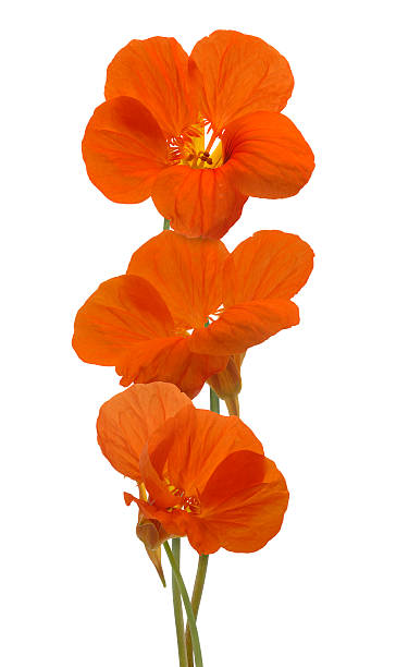 nasturtium flowers - nasturtium stock photos and pictures