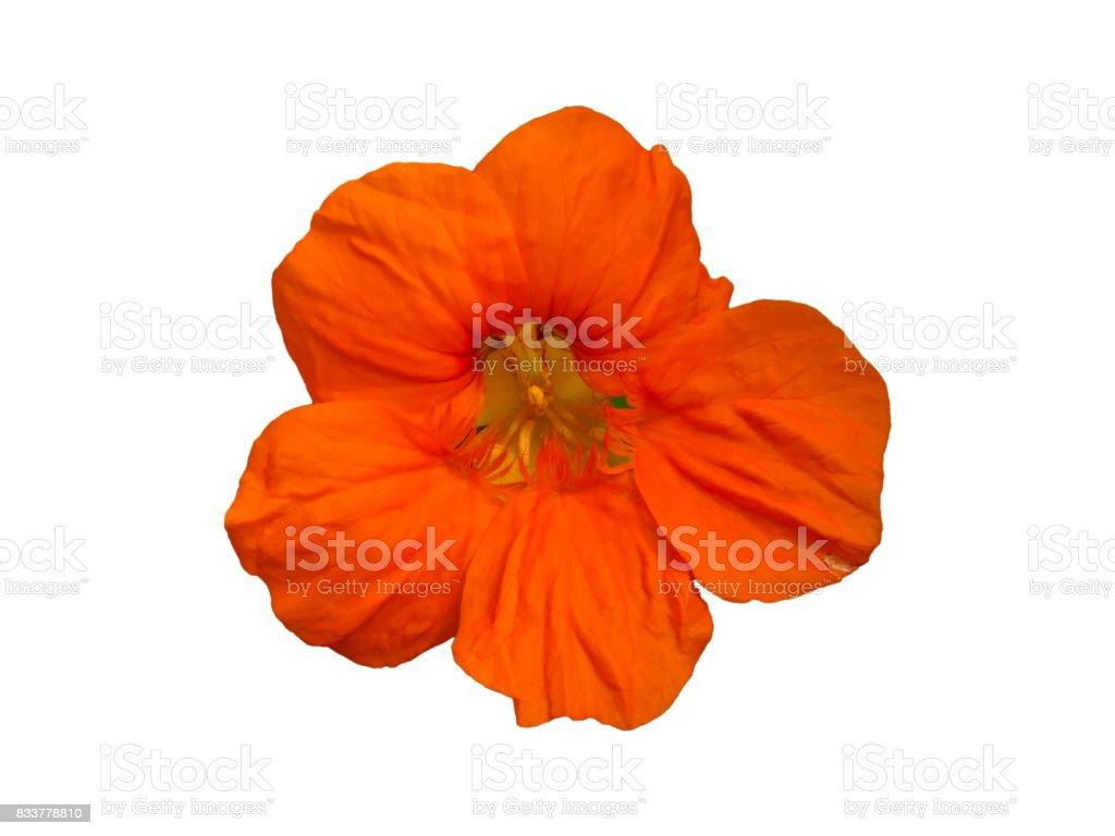 Nasturtium (Tropaeolum) Garden Flower Isolated royalty-free stock photo