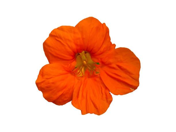nasturtium (tropaeolum) garden flower isolated - nasturtium stock photos and pictures