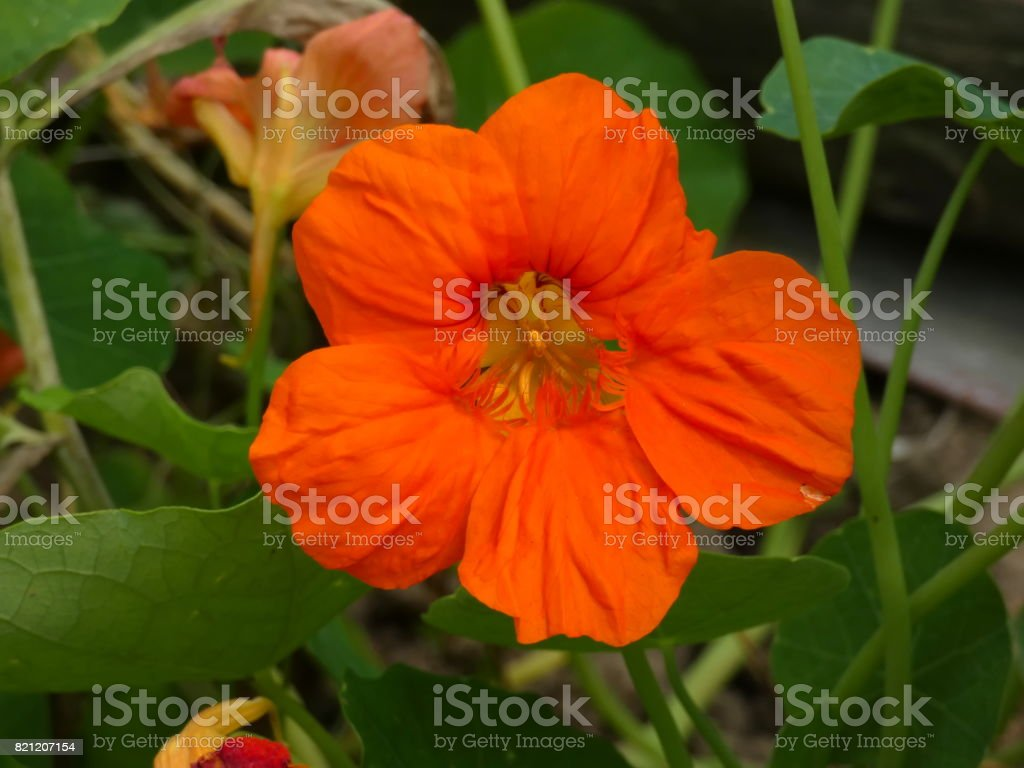 Nasturtium (Tropaeolum) Garden Flower stock photo