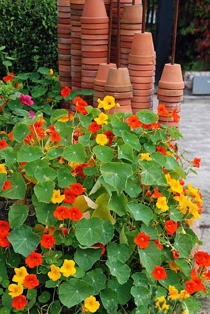 nasturtium growing in a flowerbed - nasturtium stock photos and pictures