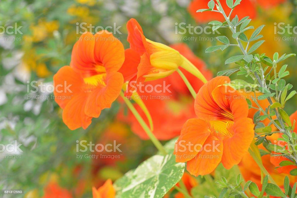 Nasturtium in garden stock photo