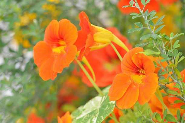 nasturtium in garden - nasturtium stock photos and pictures