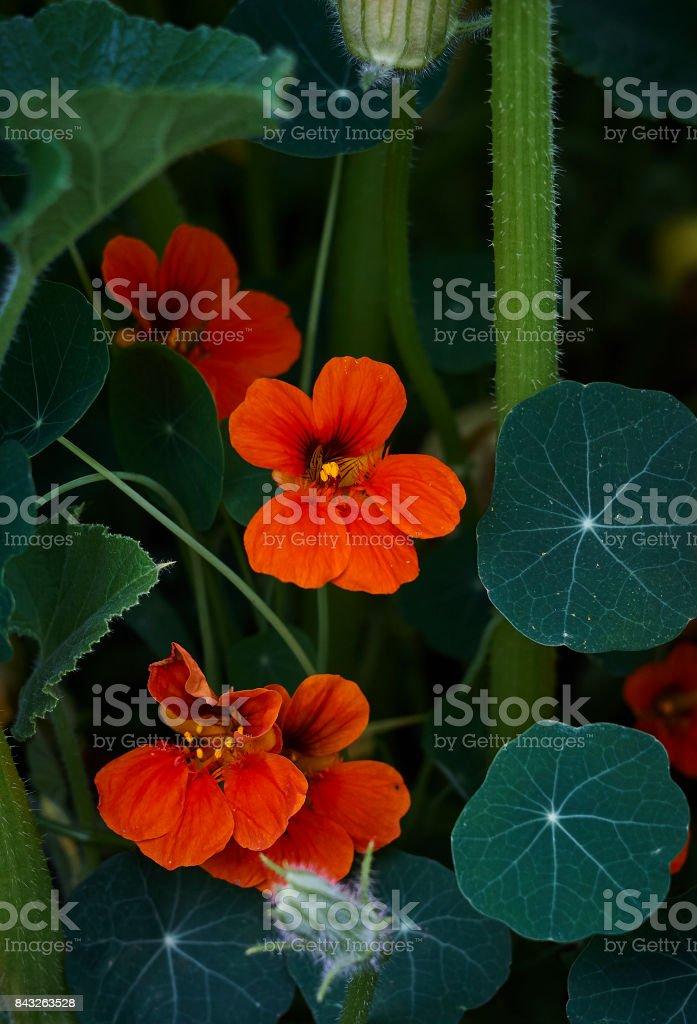 nasturtium Indian cress Tropaeolum red blossom green leaves close up stock photo