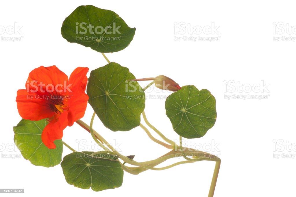 nasturtium isolated on white stock photo