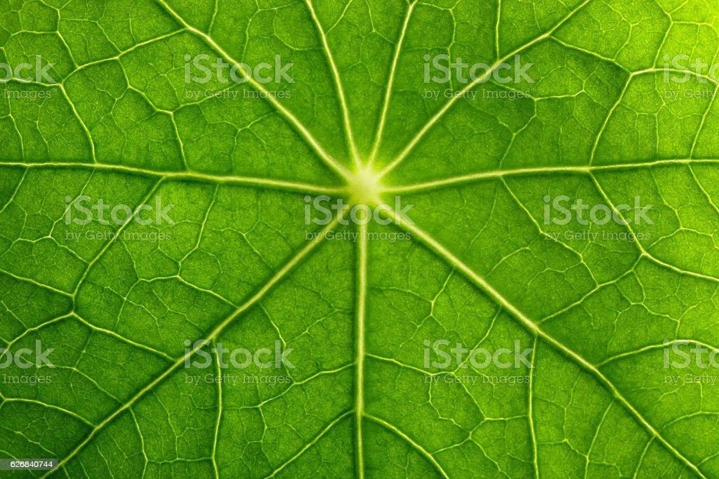 Nasturtium leaf extreme close up stock photo