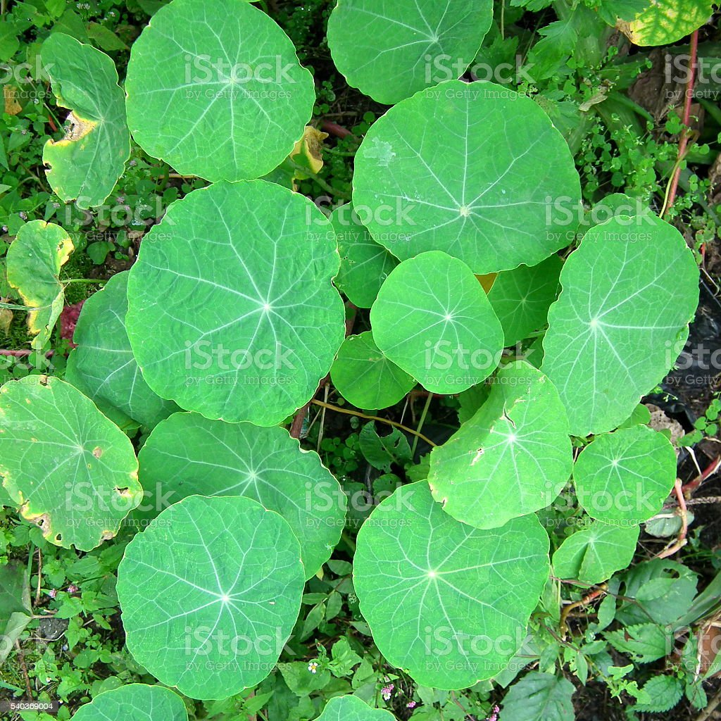 Nasturtium leaves stock photo