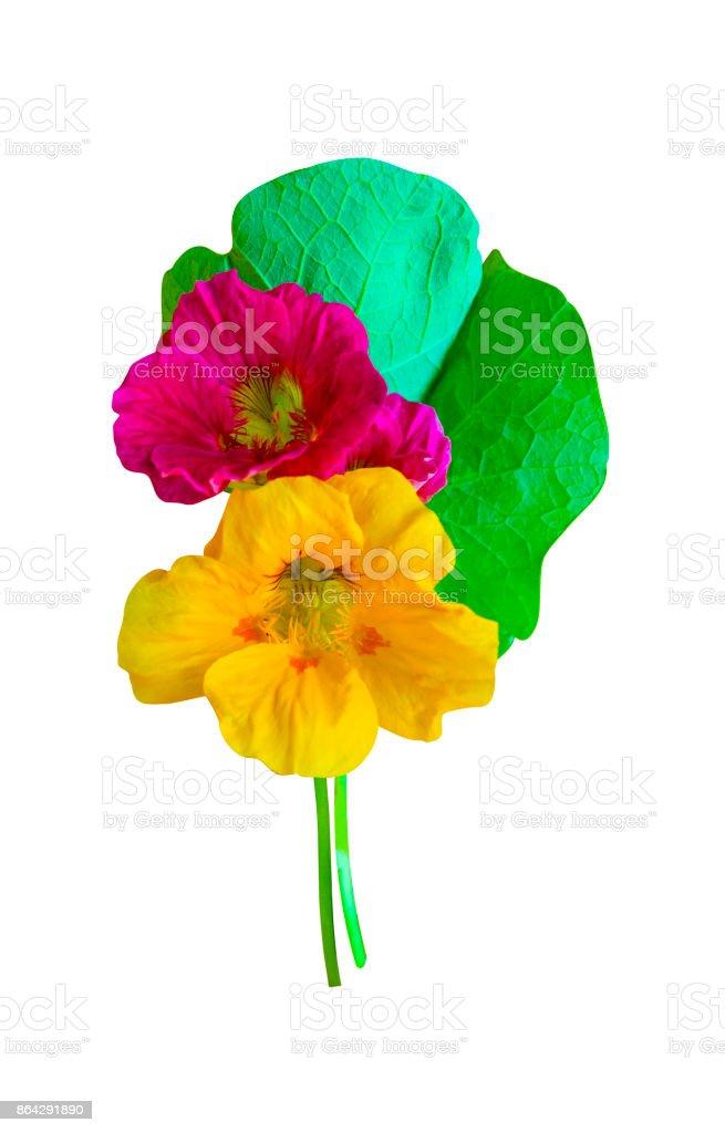 nasturtium. Nasturtium flowers. Nasturtium flowers isolated on white background. Set of nasturtium flower. royalty-free stock photo