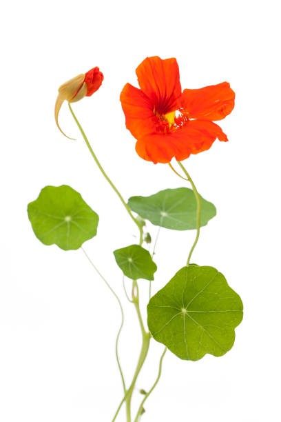 nasturtium (tropaeolum majus) open and closed flower with leaves isolated on white background - nasturtium stock photos and pictures